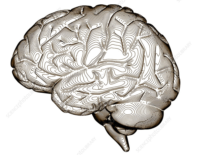 Contour map of the brain