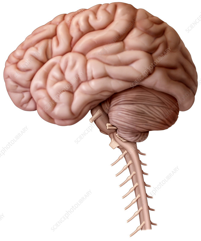 External View of Brain