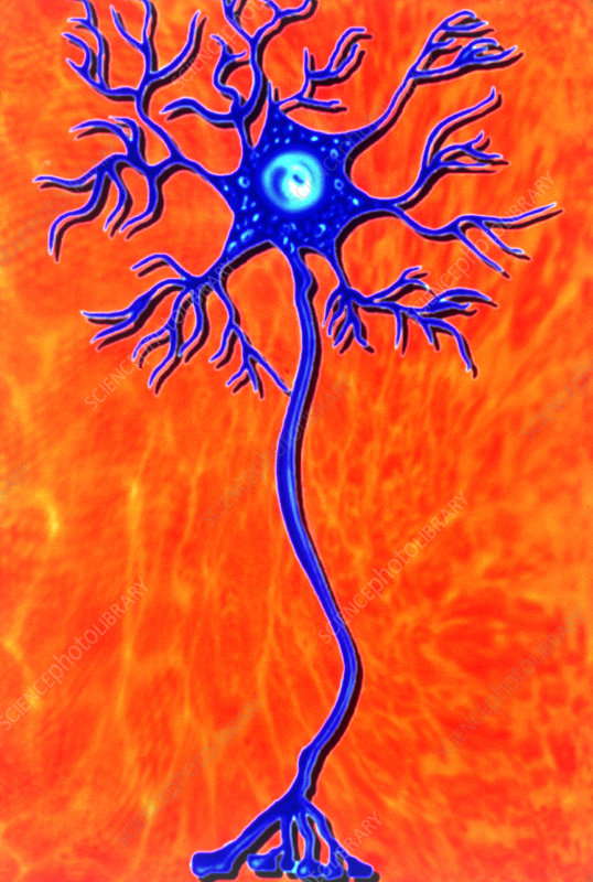 Artwork of human motor neuron (nerve cell)