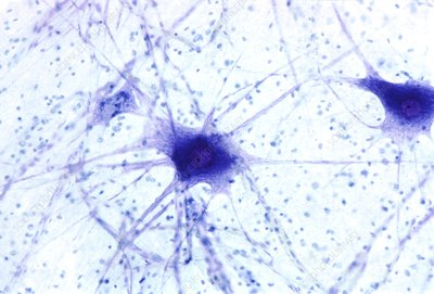 Nerve cells, light micrograph