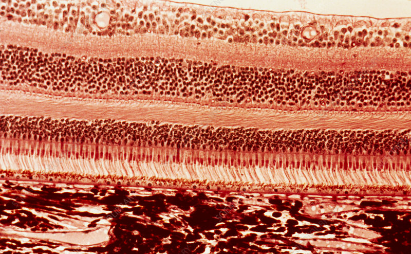 Photomicrograph of mammalian retina