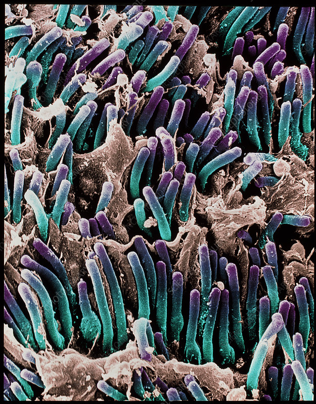 Coloured SEM of rod cells in the retina of the eye