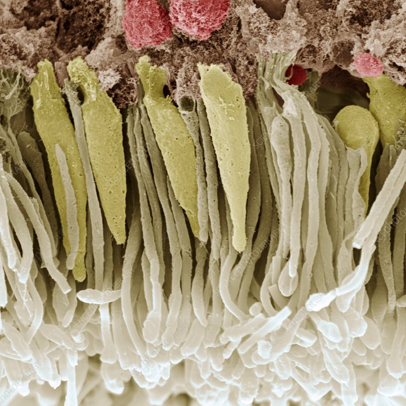 Retina rod and cone cells, SEM