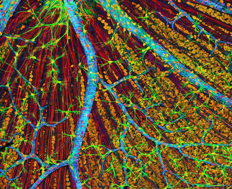 Retina blood vessels and nerve cells
