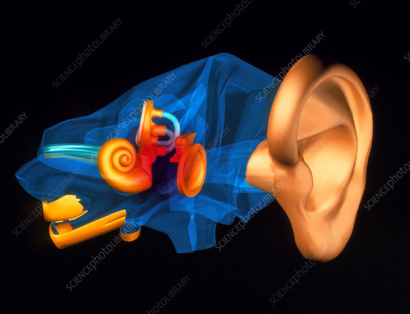 3-D computer model of the anatomy of the human ear
