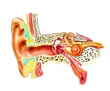 Middle and inner ear