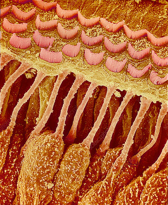 Sensory hair cells in ear, SEM