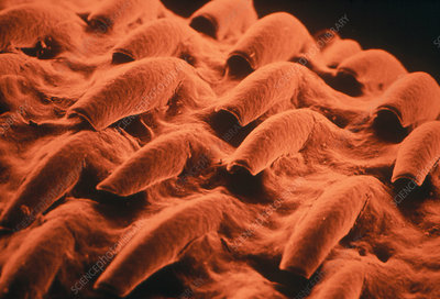 Surface of a cat's tongue