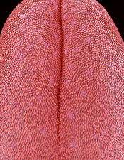 Mouse tongue, SEM
