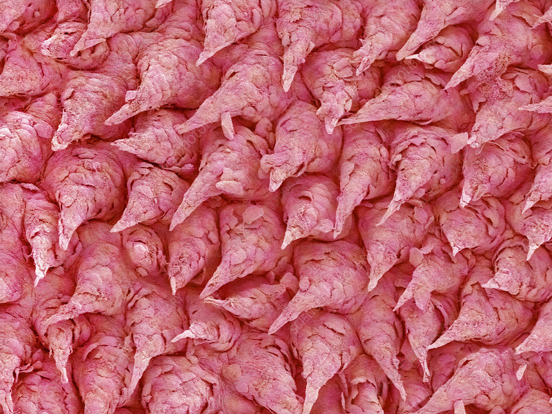 Rabbit tongue's surface, SEM