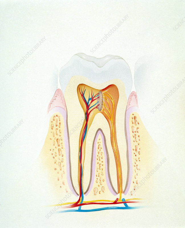 Artwork of a section through a healthy tooth