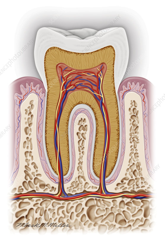 Tooth Anatomy - Stock Image P486/0164 - Science Photo Library