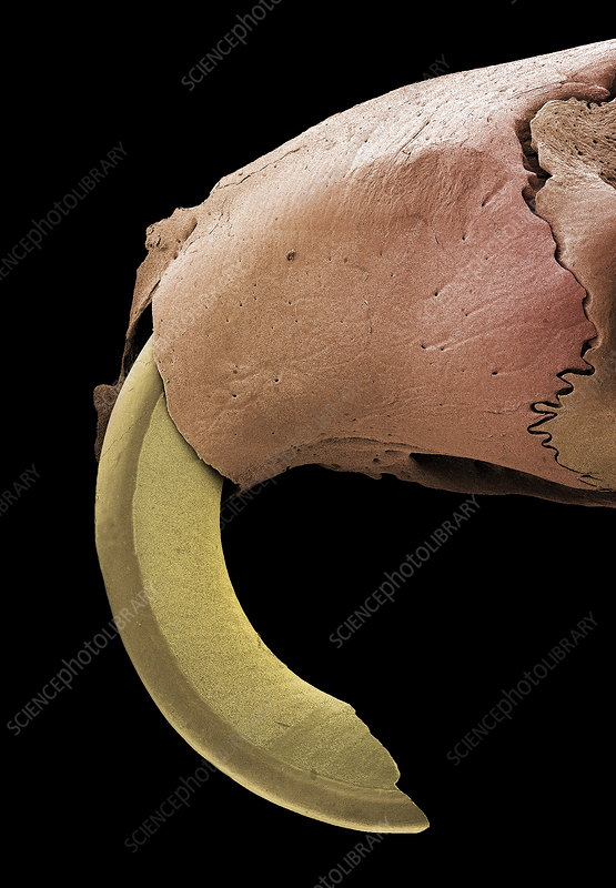 Mouse incisor, SEM
