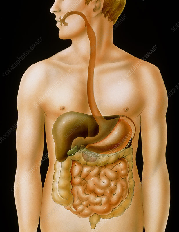 Artwork of the human digestive system