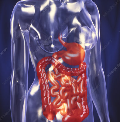 Computer art showing the healthy digestive system