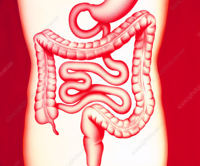 Artwork of a healthy human digestive system