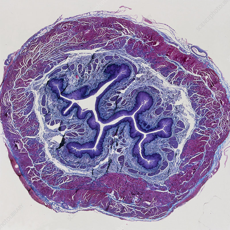 LM of a cross-section through the human oesophagus