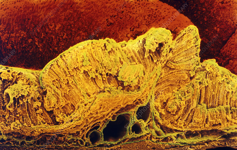 Colour SEM of cross-section through stomach wall