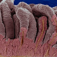 False-colour SEM of intestinal villi