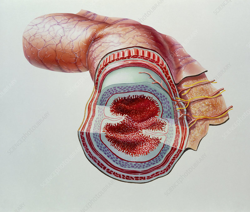 Cutaway artwork of layers of the small intestine