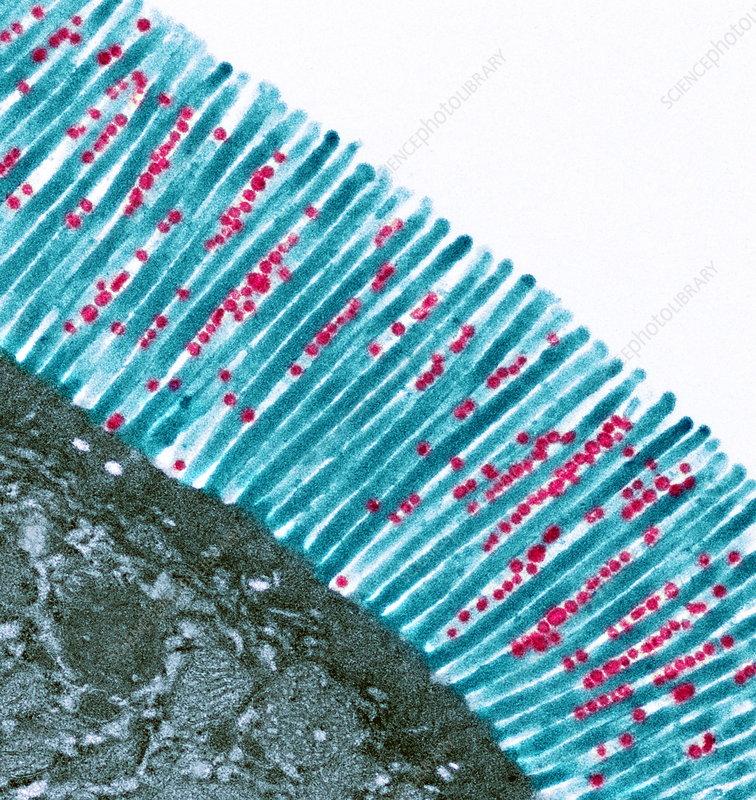 Intestinal microvilli, TEM