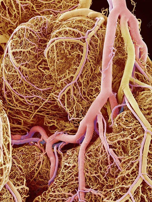 Small intestine blood vessels, SEM
