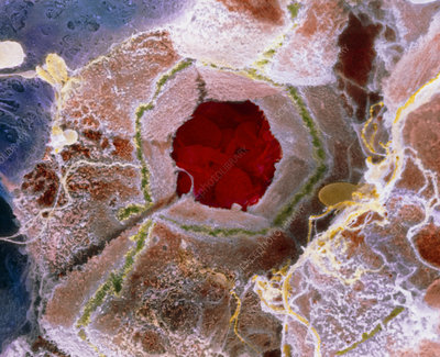 False-colour SEM of cell structure of liver lobule