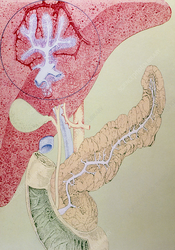 Artwork of the liver, gall bladder and pancreas
