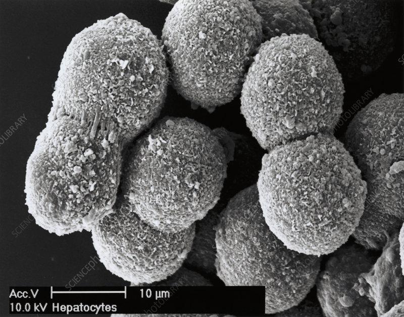 Liver cells, SEM