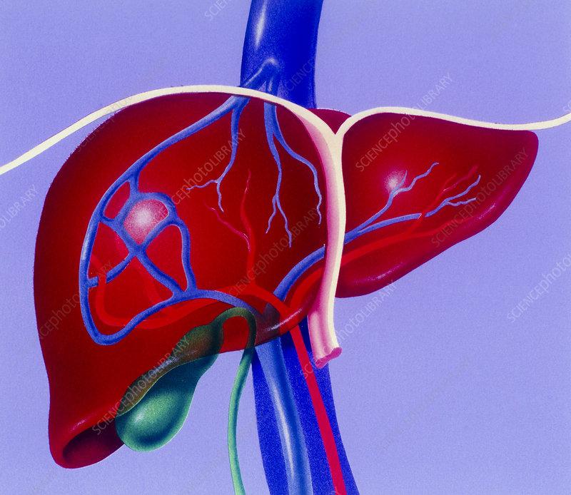 Liver blood vessels