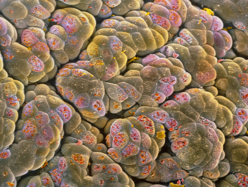 False-colour SEM of acini cells of the pancreas