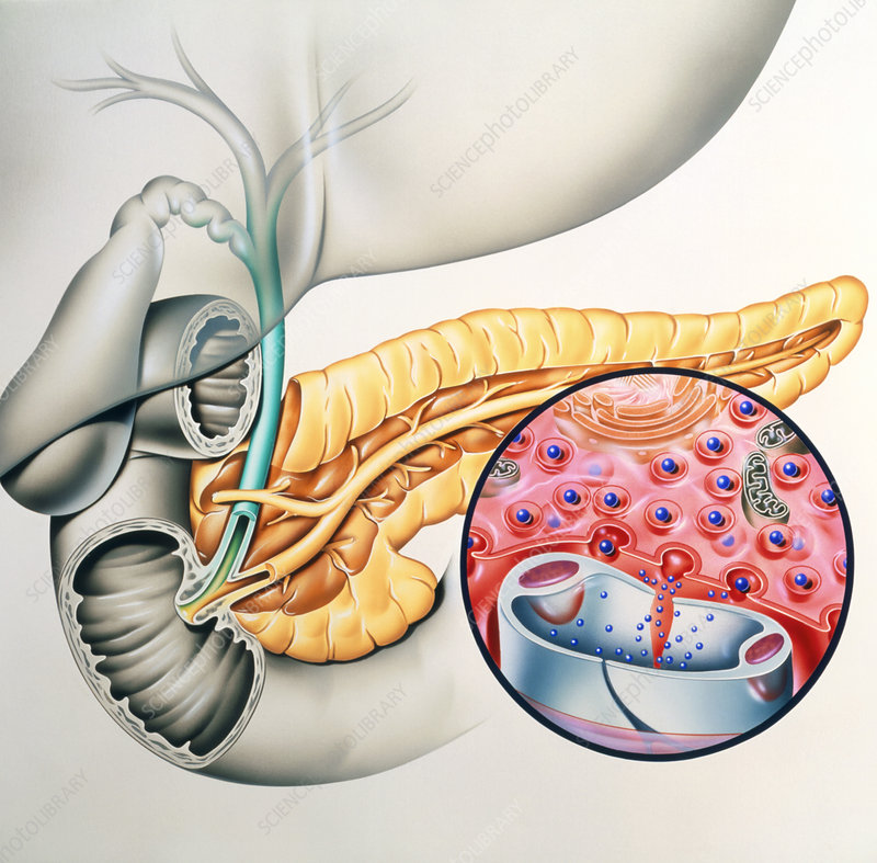 Artwork of the pancreas showing insulin production