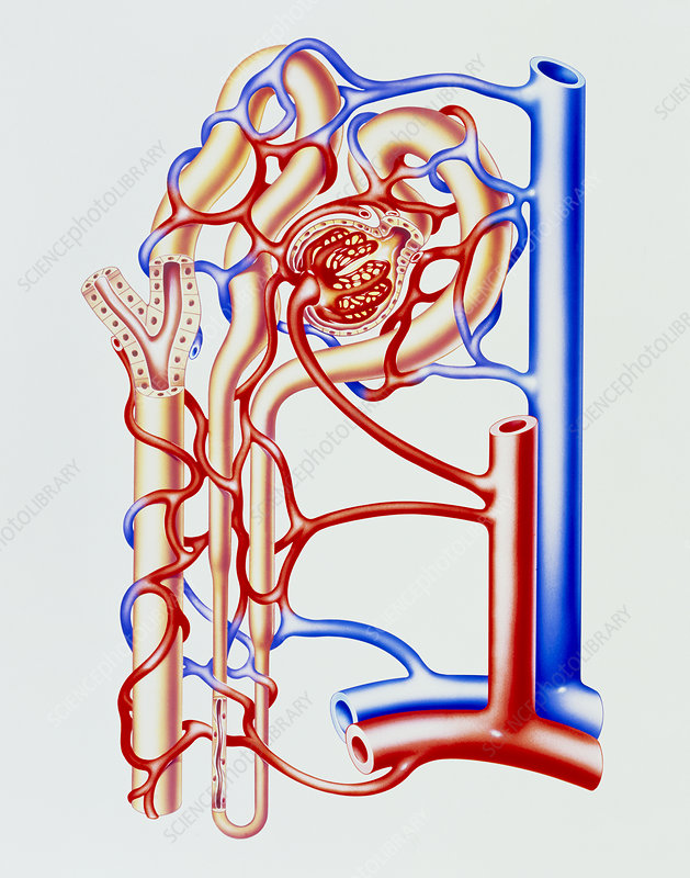 Artwork of kidney nephron with blood vessels