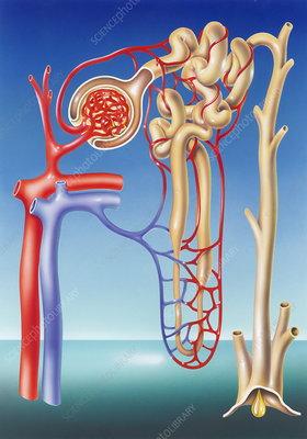 Kidney filtration system