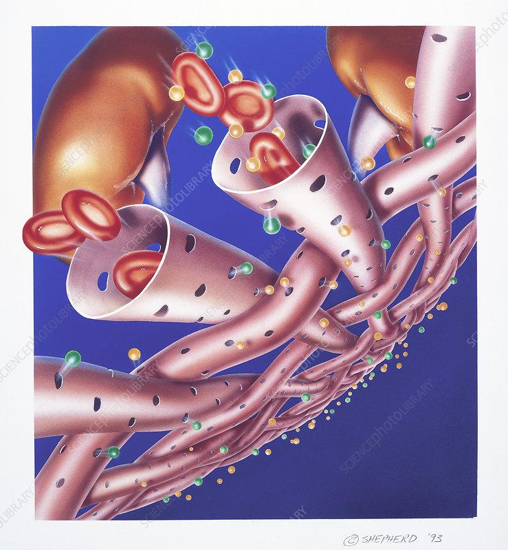 Kidneys meshwork of arterioles