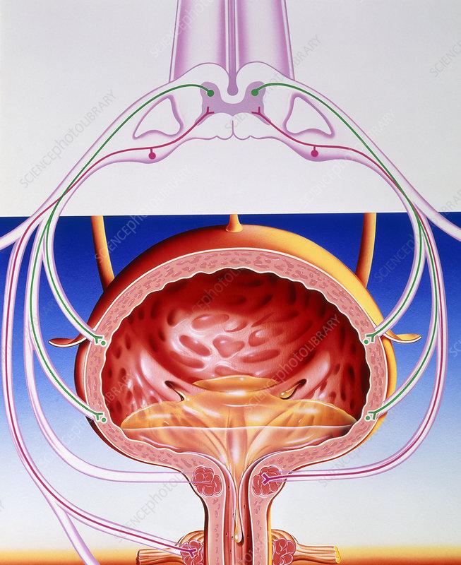 Artwork of a bladder and its reflex arc nerves