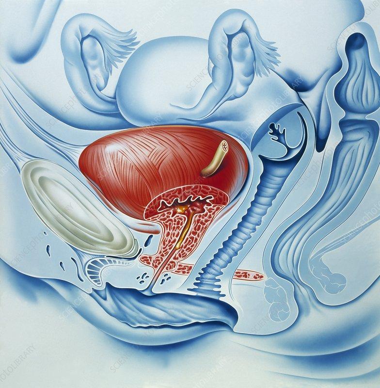 Bladder and uterus anatomy