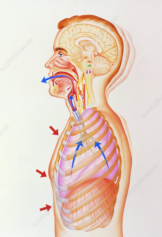 Illustration of the exhalation phase of coughing