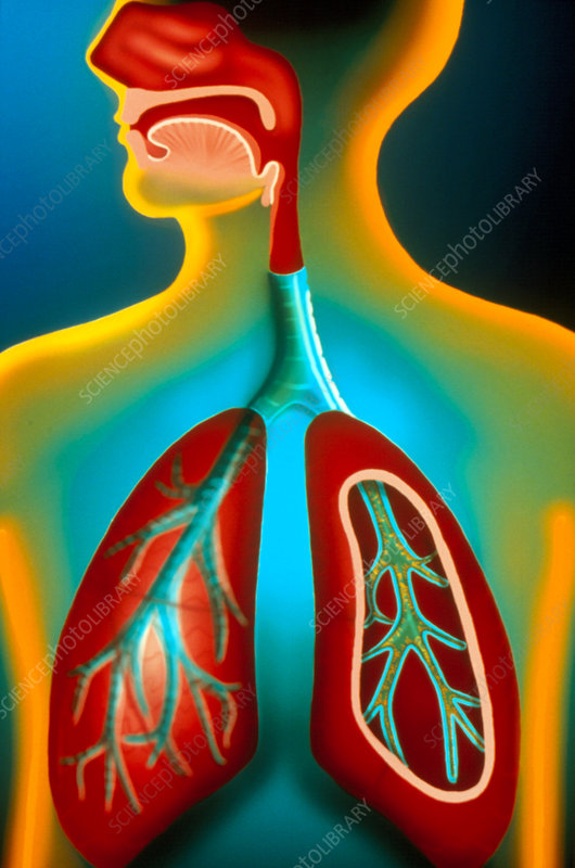 Art of human respiratory system