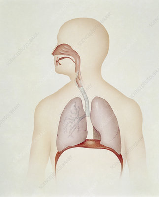 Artwork of the human respiratory system