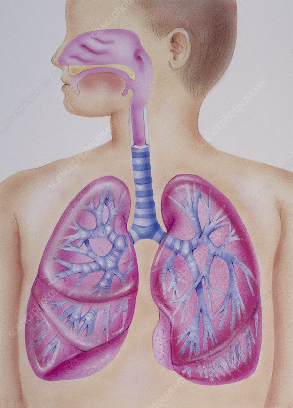 Artwork of a child's healthy respiratory system