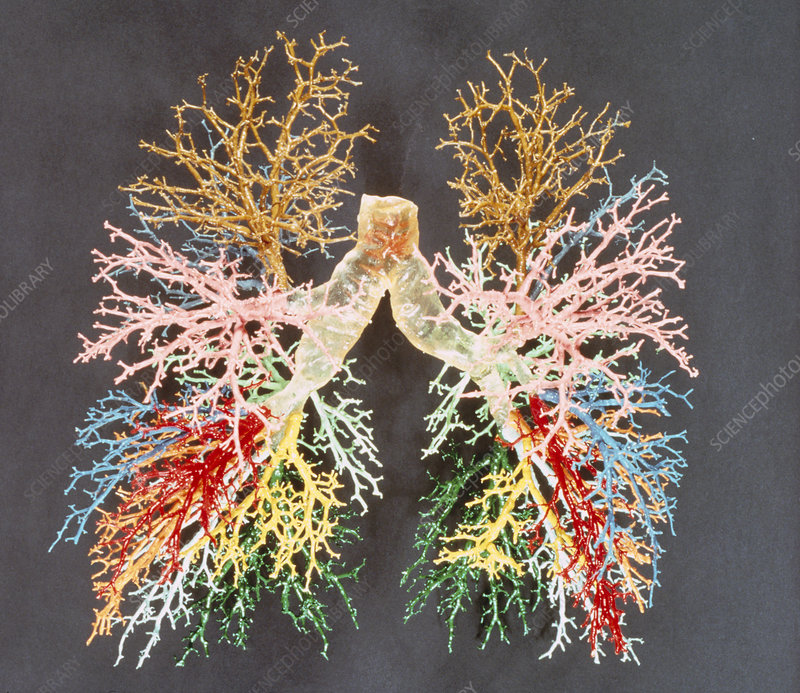 Resin cast of the airways of the human lungs