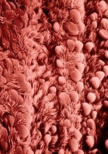 False-colour SEM of human bronchial epithelium