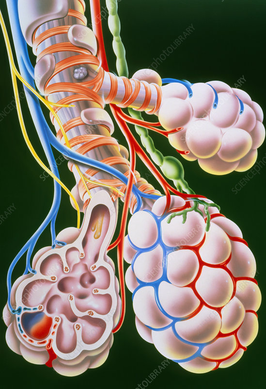 Illustration of lung bronchioles and alve