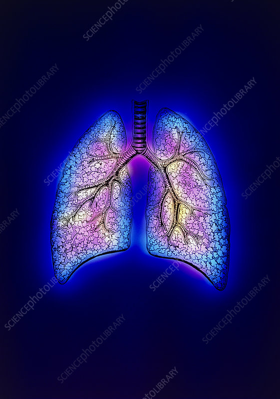 Illustration of human lungs, trachea & bronchioles