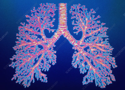 Bronchial tree of lungs