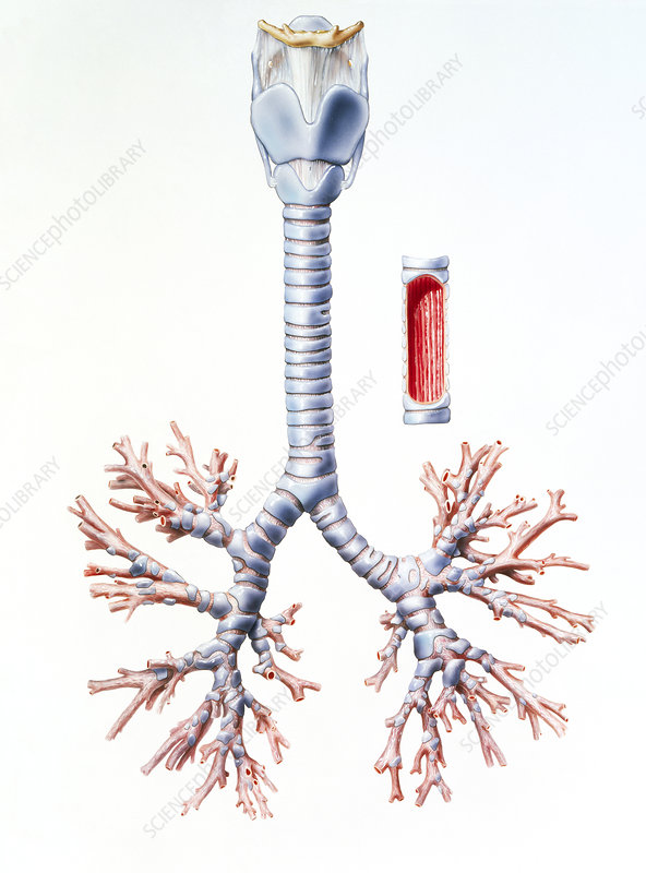 Artwork of trachea and bronchi of the human lungs - Stock Image P580 ...