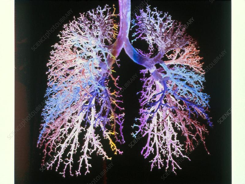 Lung airways