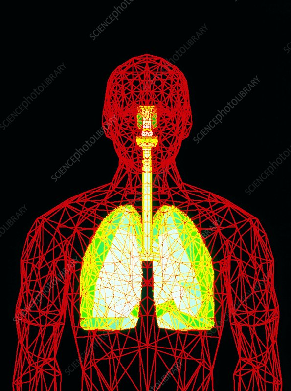 Computer graphic of wire-frame figure with lungs