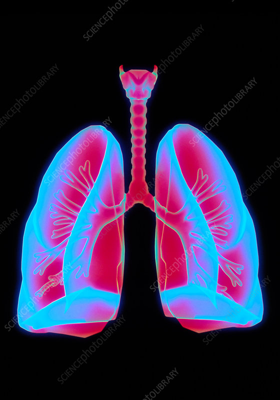Computer artwork of healthy human lungs
